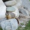A Hoary Marmot in Kamloops Park