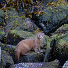 At Knight Inlet - a River Otter