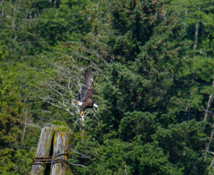 At Knight Inlet - Bald Eagle