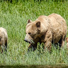 At Knight Inlet - Bella and cubs