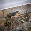 At Knight Inlet - Barn Swallow