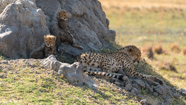 Cheetah cubs look on while mother rests   -  Botswana 2019