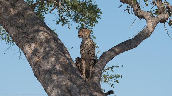 Cheetah up a tree 2 - Botswana 2019