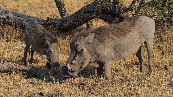 Wart Hogs - Duma Tau - Botswana 2019