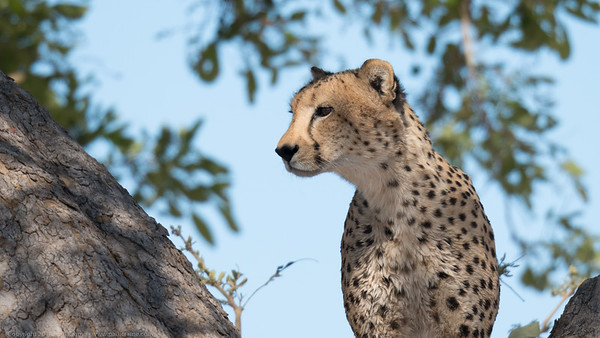 Cheetah viewning from a tree - Botswana 2019