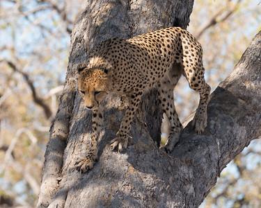 Cheetah climbing down tree - Botswana 2019