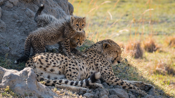 Cheetah with two cubs - Botswana 2019