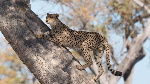 Cheetah up a tree - Botswana 2019