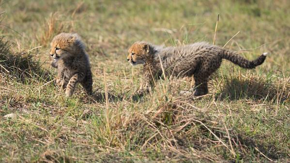 Cheetah cubs at play 2 - Botswana 2019