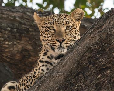 Cheetah Gaze - Botswana 2019