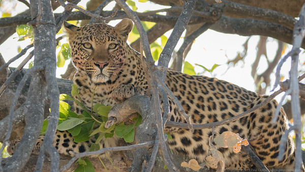 Leopard at rest in a tree 2 - Botswana 2019