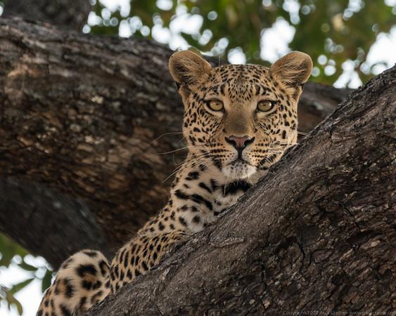 Leopard up a tree - Duma Tau - Botswana 2019