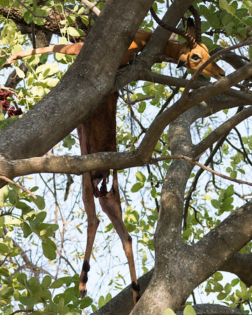 The Leopards kill - above it in the tree 2 - Botswana 2019