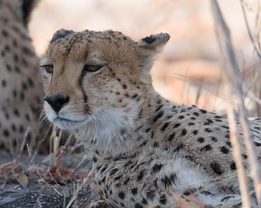 Cheetah Close 2 - Botswana 2019