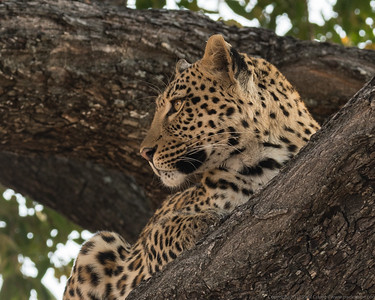 Leopard up a tree 4 - Duma Tau - Botswana 2019