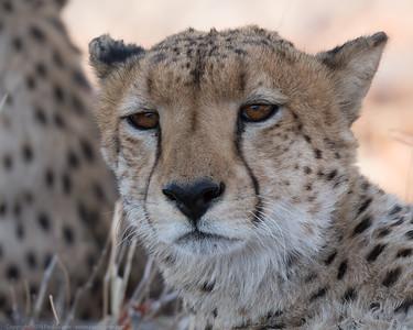 Cheetah Close Up 2 - Botswana 2019