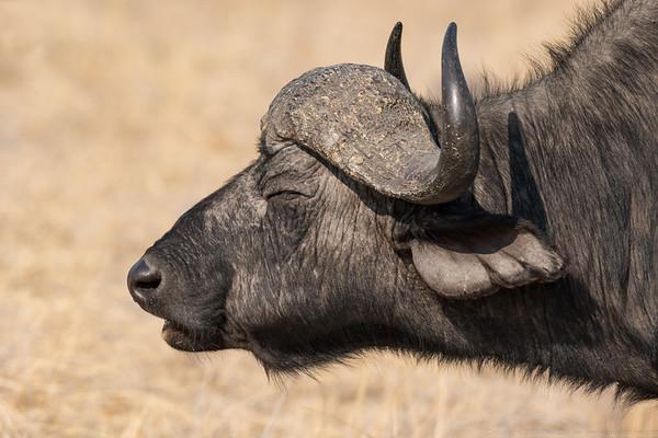 Buffalo 3 - Botswana 2019