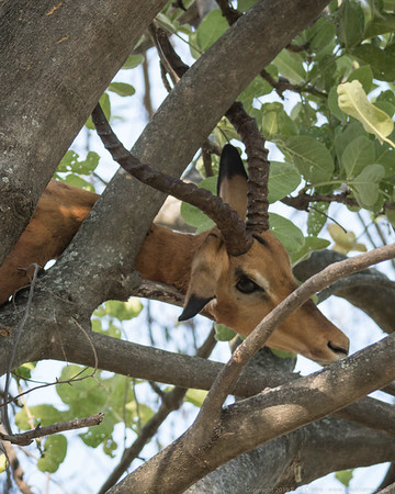The Leopards kill - above it in the tree - Botswana 2019