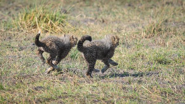 Cheetah cubs running  - Botswana 2019