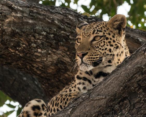Leopard up a tree 2 - Duma Tau - Botswana 2019