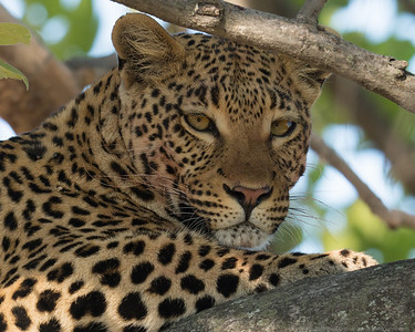 The Leopard with its kill - above it in the tree 4 - Botswana 2019