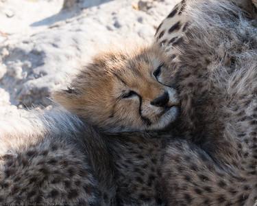 Cuddled cub - Botswana 2019