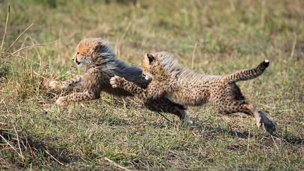 Cheetah cubs at play - Botswana 2019