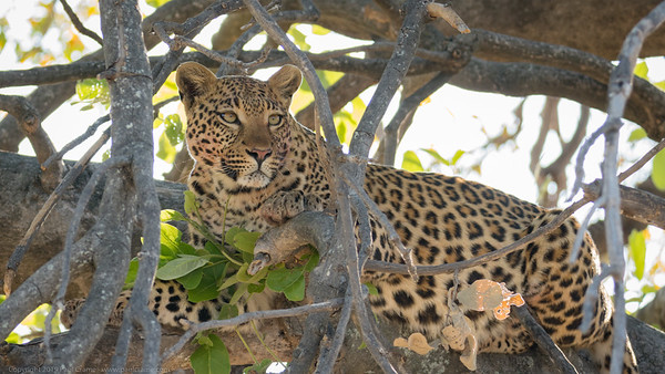 Leopard at rest in a tree - Botswana 2019
