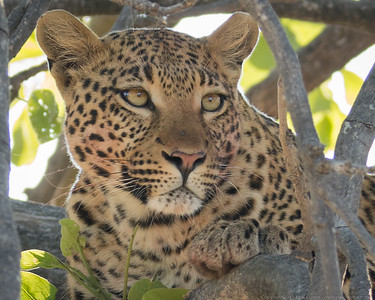 The Leopard with its kill - above it in the tree 3 - Botswana 2019