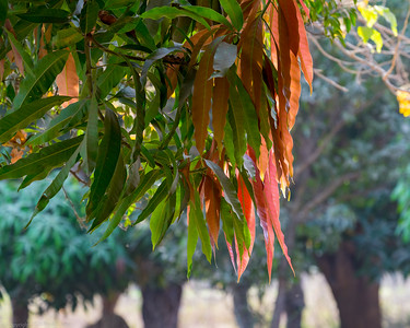 Hanging Leaves - The Gambia 2020