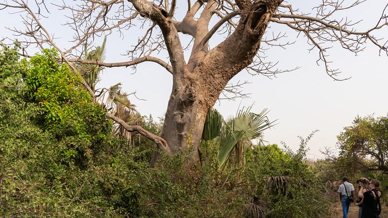 Beautiful Baobab Tree viewed - The Gambia 2020