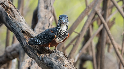 Giant Kingfisher looking at you (F) - The Gambia 2020