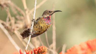 Scarlet Chested Sunbird -  The Gambia 2020