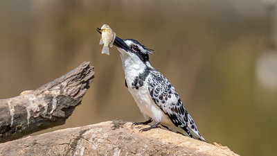 Pied Kingfisher with Fish  - The Gambia 2020