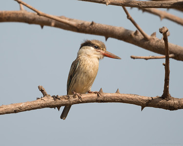 Striped Kingfisher 2 - The Gambia 2020