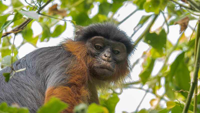 Red Colobus Monkey looks - The Gambia 2020