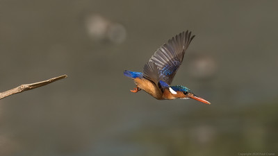 Malachite Kingfisher in flight - The Gambia 2020
