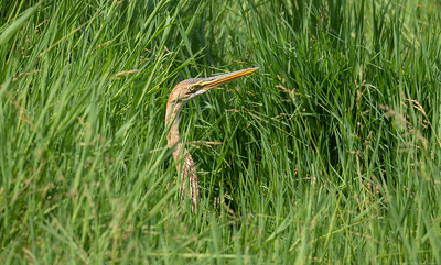 Heron in the Grass - The Gambia 2020