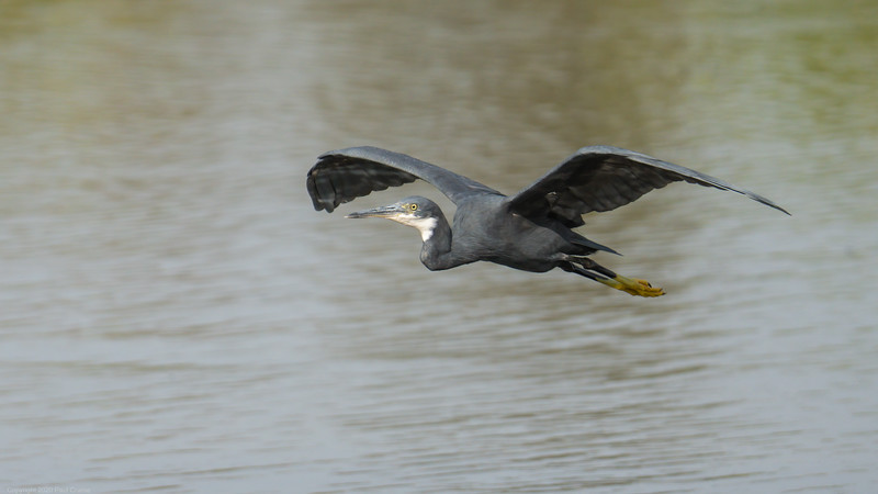 Heron in Flight - The Gambia 2020
