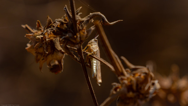 Grasshopper under cover - The Gambia 2020