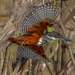 Giant Kingfisher in flight (F) - The Gambia 2020