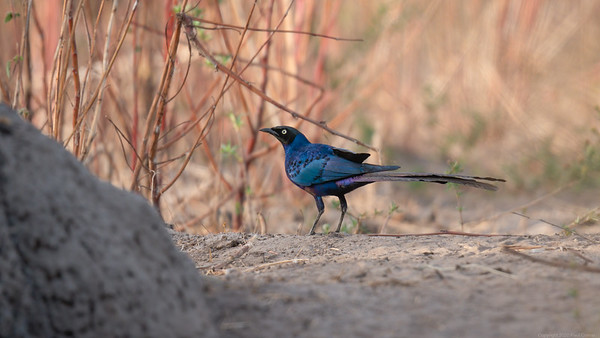 Purple Starling grounded - The Gambia 2020