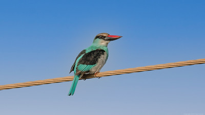 Woodland  Kingfisher - Kotu Bridge The Gambia 2020