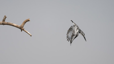 Pied Kingfisher diving - The Gambia 2020