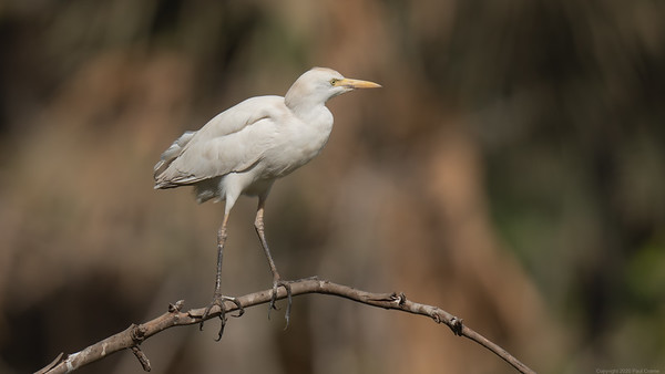 Cattle Egret 2 - The Gambia 2020