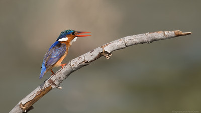Malachite Kingfisher on a branch - The Gambia 2020