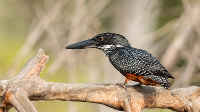 Portrait of a Giant Kingfisher - The Gambia 2020