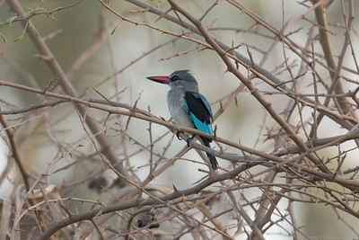 Woodland Kingfisher - The Gambia 2020