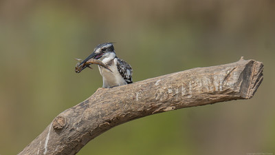 Pied Kingfisher with fish looking left -  The Gambia 2020