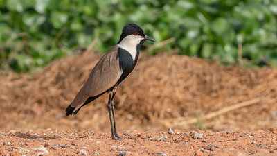Blacksmith Lapwing  The Gambia 2020